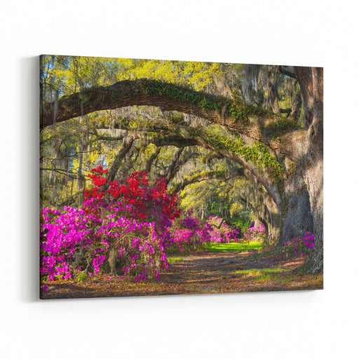 Charleston SC Spring Bloom Azalea Flowers South Carolina Plantation Garden Under Live Oaks And Spanish Moss Canvas Wall Art Print