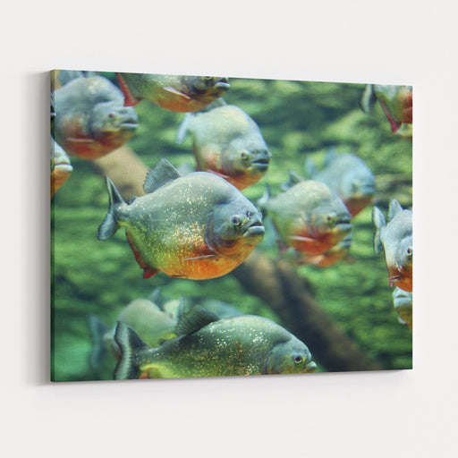 Flock Of Piranhas Swim Nature Wildlife Canvas Wall Art Print