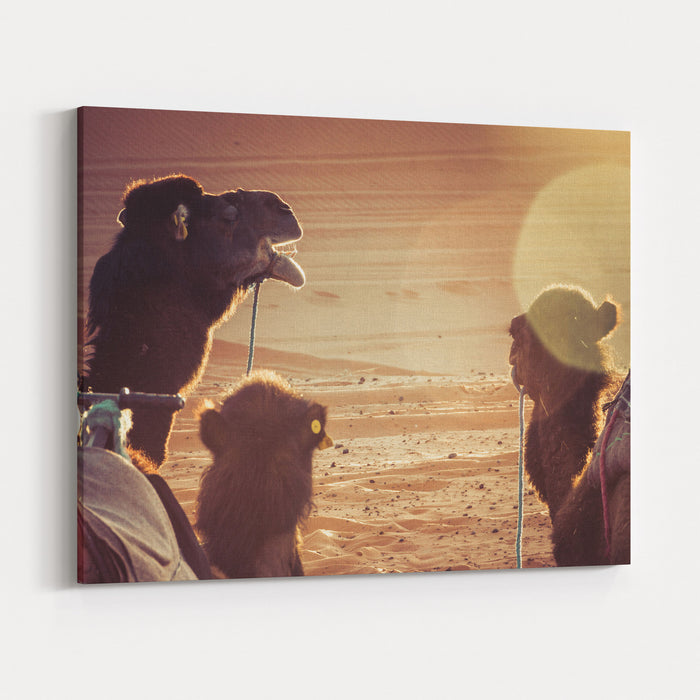 Camels In The Desert During A Rest Sunrise Light, Sun Flare Canvas Wall Art Print