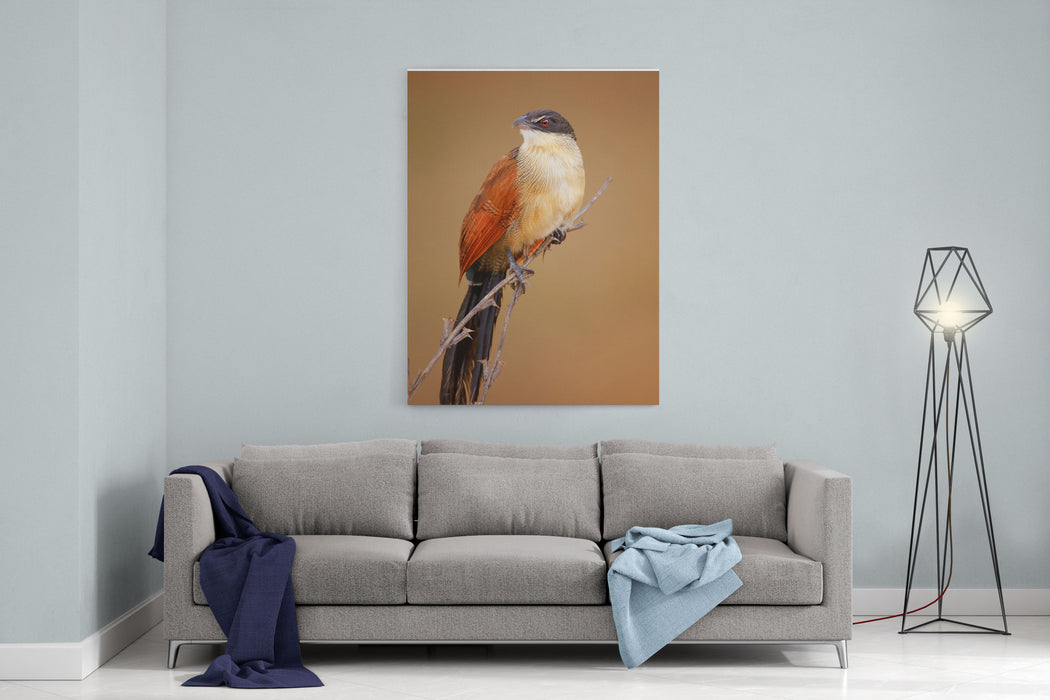 A Burchells Coucal Centropus Burchellii Perched On Thin Branches  Kruger National Park South Africa Canvas Wall Art Print