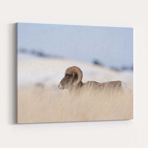 A Big Horn Sheep Ram Walking From The Right To The Left Of The Frame Through Tall Grass Canvas Wall Art Print