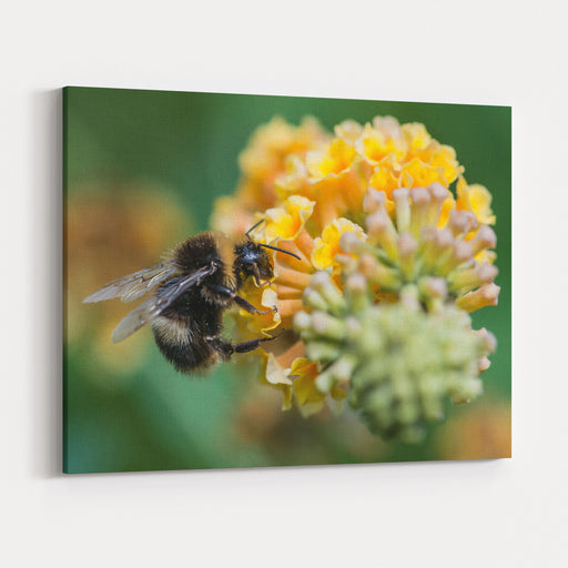 A Macro Shot Of A Bumblebee Enjoying The Pollen From A Butterfly Bush Bloom Canvas Wall Art Print