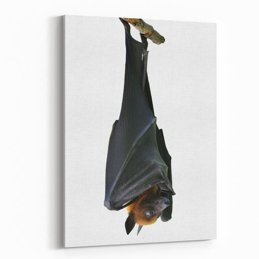 Bat, Hanging Lyles Flying Fox Isolated On White Background, Pteropus Lylei Canvas Wall Art Print