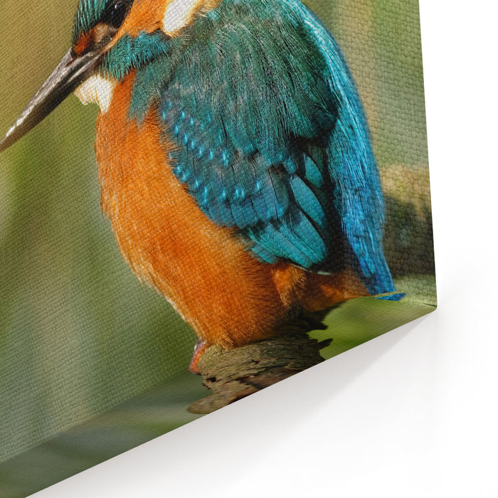 Poland In JuneCommon Kingfisher In The Full Sun,sitting On The BranchHe Is Drying Feathers In The Sun Canvas Wall Art Print