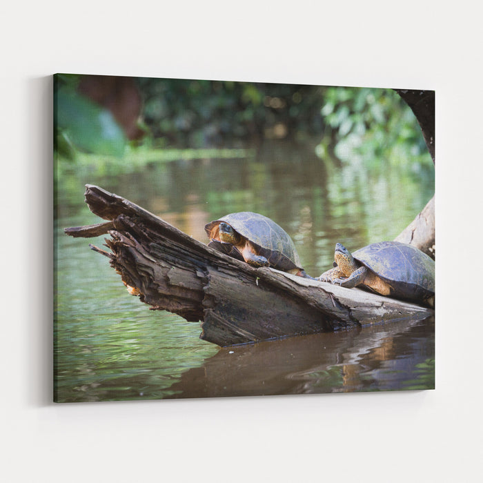 Costa Rica, Tortuguero National Park, Canals And Rainforest Turtles Sunbathing Canvas Wall Art Print