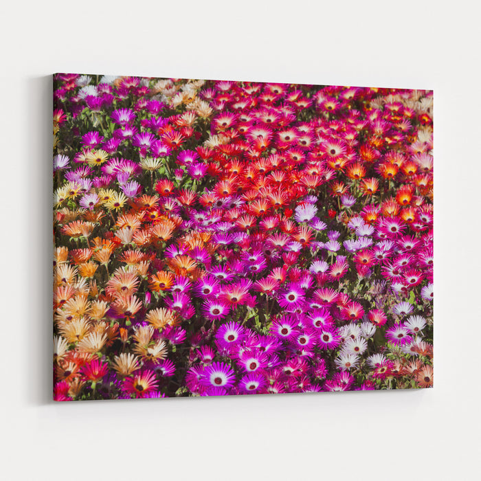 A Bed Of Livingstone Daisies In Toowoomba Carnival Of Flowers, Queensland, Australia Canvas Wall Art Print