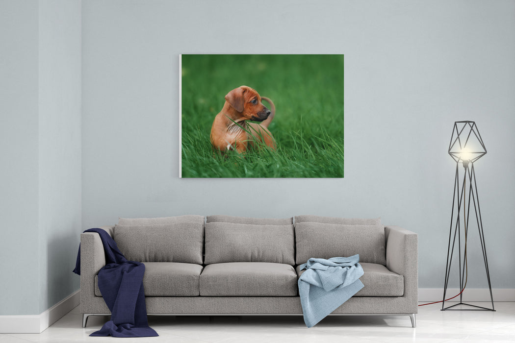 Adorable Little Rhodesian Ridgeback Puppies Playing Together In Garden Funny Expressions In Their Faces The Little Dogs Are Five Weeks Of Age Canvas Wall Art Print