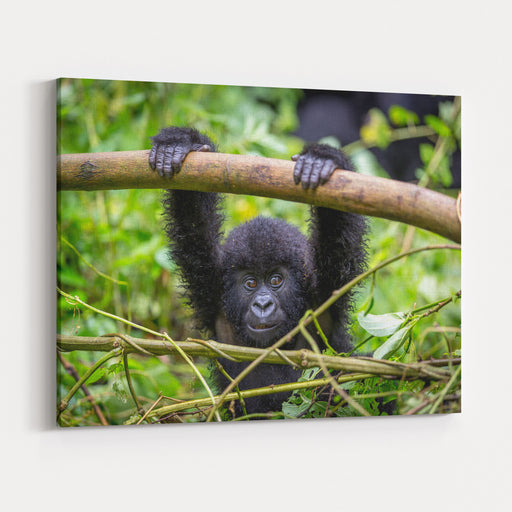 A Baby Gorila Inside The Virunga National Park, The Oldest National Park In Africa DRC, Central Africa Canvas Wall Art Print