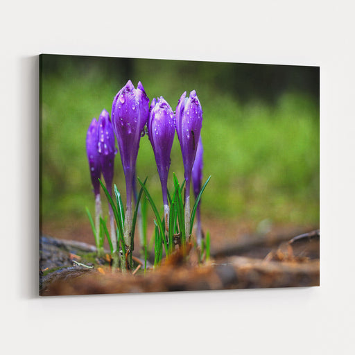 The Crocuses Family Canvas Wall Art Print