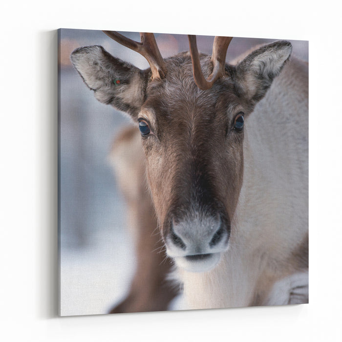 Reindeer In Its Natural Environment In Scandinavia Canvas Wall Art Print