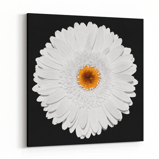 Tender White Gerbera Flower Macro Isolated On Black Canvas Wall Art Print