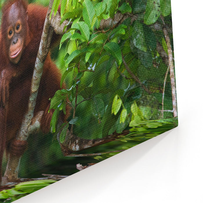 A Baby Orangutan In The Wild Indonesia The Island Of Kalimantan Borneo An Excellent Illustration Canvas Wall Art Print