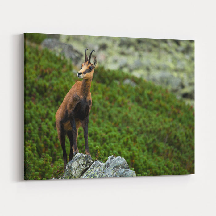 Chamois On The Top Of Rock In High Tatras Canvas Wall Art Print