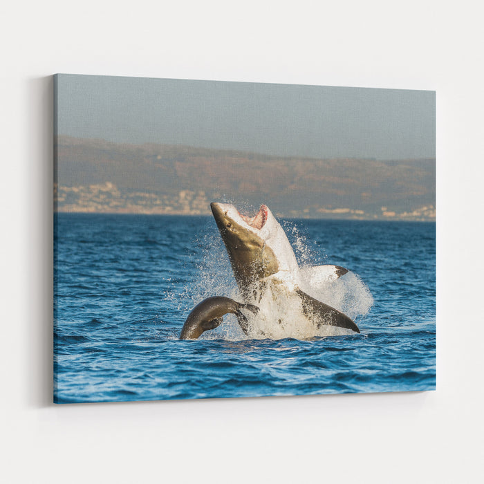 Great White Shark  Carcharodon Carcharias  Breaching In An Attack  South Africa Canvas Wall Art Print