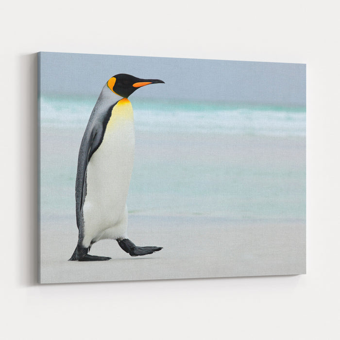 Big King Penguin Going In To The Blue Water, Atlantic Ocean On Falkland Island, Sea Bird In The Nature Habitat Canvas Wall Art Print
