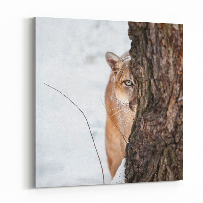 Portrait Of A Cougar, Mountain Lion, Puma, Striking Pose, Winter Scene In The Woods Canvas Wall Art Print