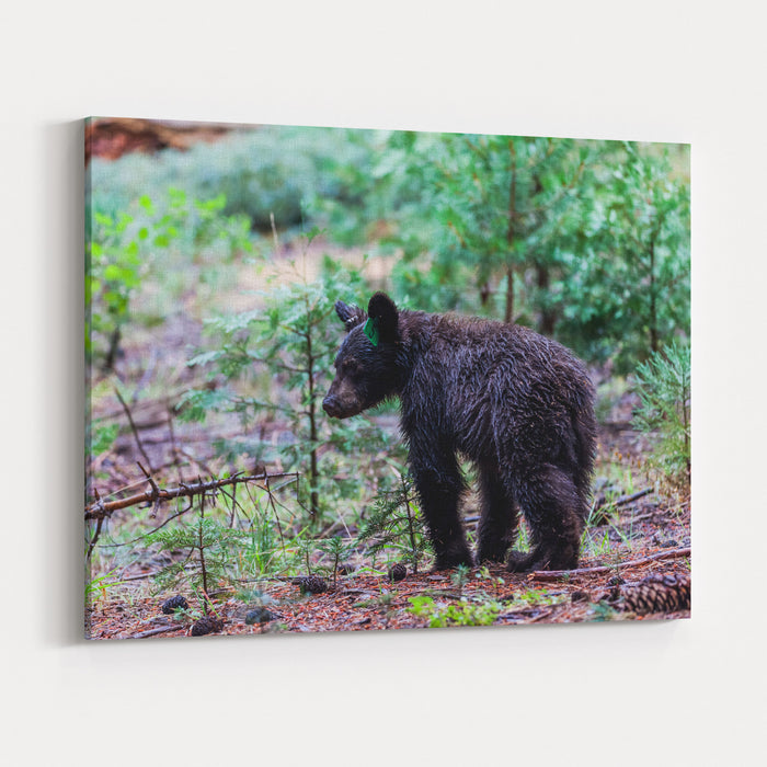 Bear In Sequoia National Park, California Canvas Wall Art Print