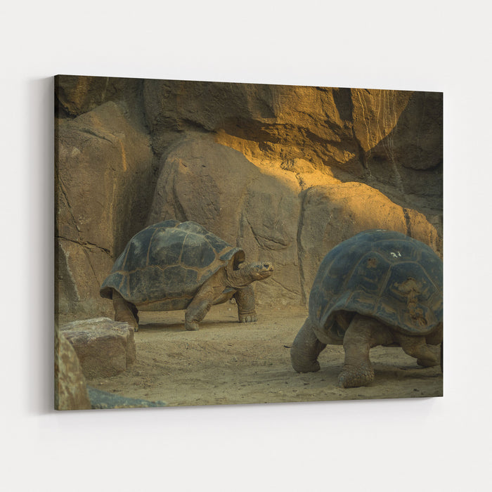 A Giant Galapagos Turtles On A Walk Canvas Wall Art Print