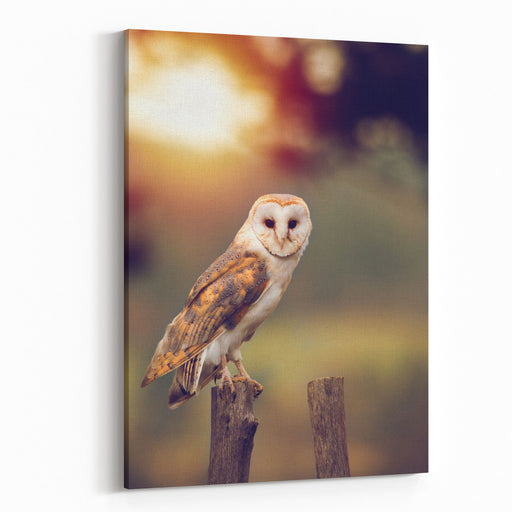 A Beautiful Barn Owl Tyto Alba Perched On A Tree Stump During Sunset Wildlife Photo Canvas Wall Art Print