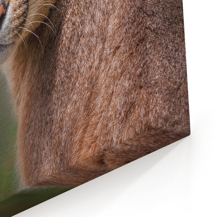 The Portrait Of Caracal Snarling Canvas Wall Art Print
