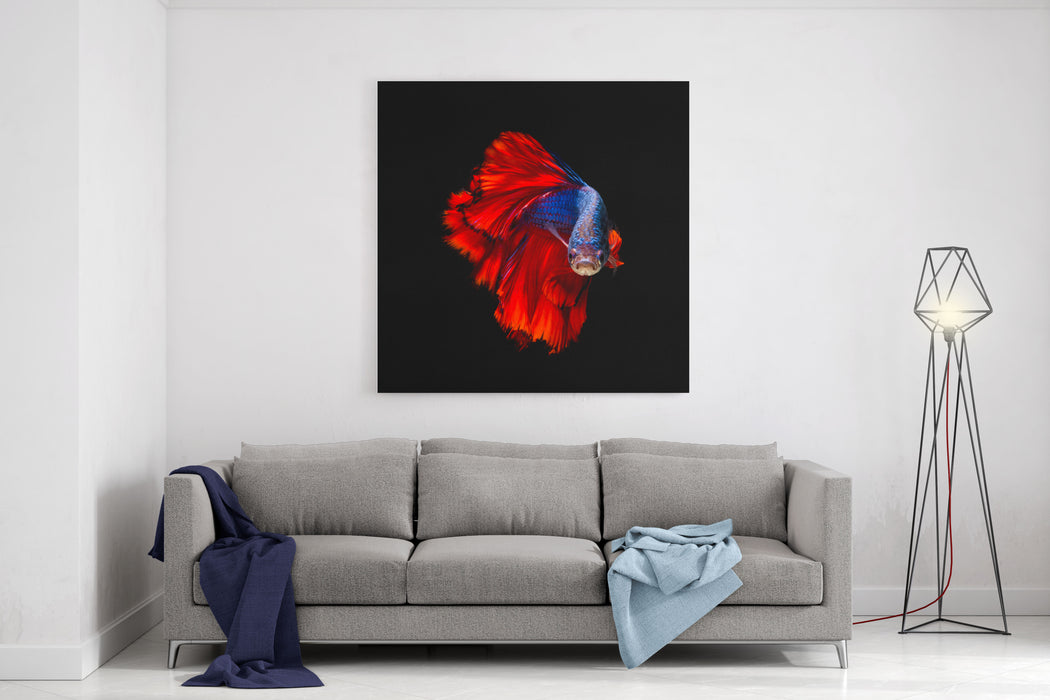 Colourful Betta Fish,Siamese Fighting Fish In Movement Isolated On Black Background Canvas Wall Art Print