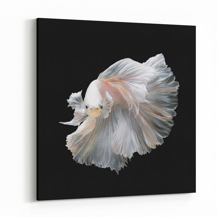Close Up Of White Platinum Betta Fish Or Siamese Fighting Fish In Movement Isolated On Black Background Canvas Wall Art Print