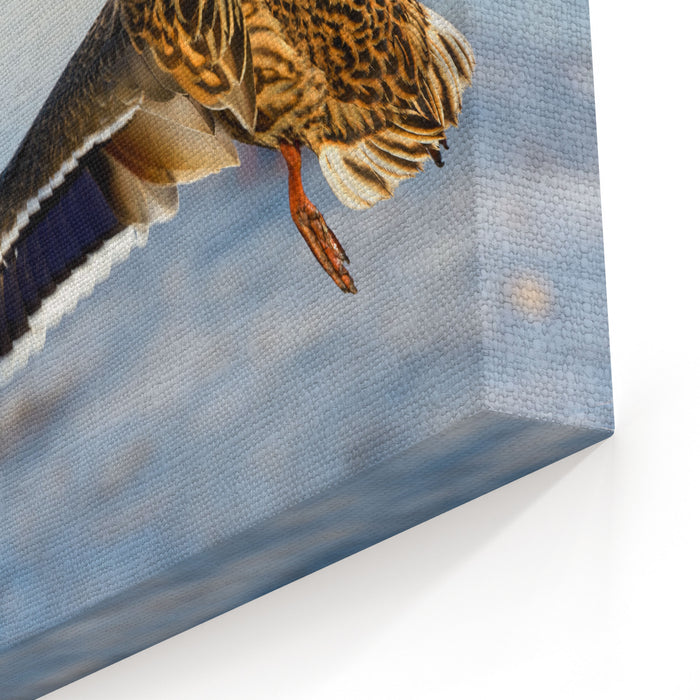 Birds And Animals In Wildlife Awesome View Of Flying Mallard Duck With Amazing Wings And Feathers At Winter Beautiful Landscape Of Funny Brown Duck Fly In Wild Nature , Closeup Perspective Canvas Wall Art Print