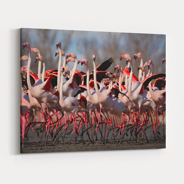 Flock Of  Greater Flamingos, Phoenicopterus Ruber, Nice Pink Big Birds, Dancing In The Water, Animal In The Nature Habitat In Camargue, France Canvas Wall Art Print