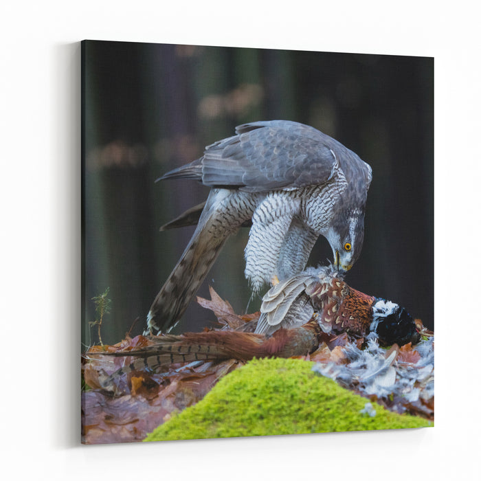 A Male Goshawk Feeding On Pheasant In Forest Canvas Wall Art Print