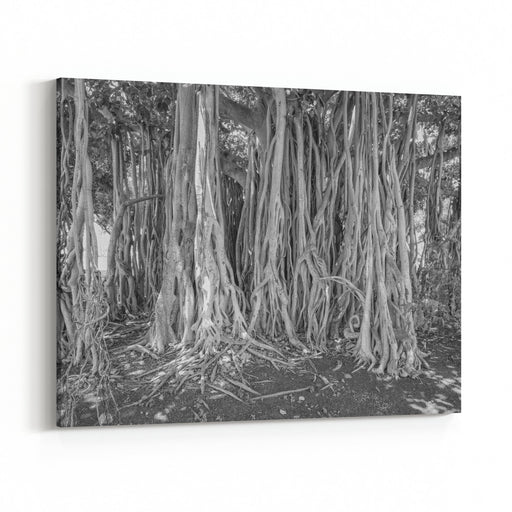 Shady View Of A Large Hawaiian Banyan Tree And Roots Canvas Wall Art Print