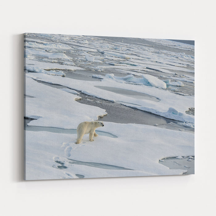 Polar Bear Walking Across A Vast Expanse Of Ice Floes North Of Svalbard In The Arctic Ocean Canvas Wall Art Print