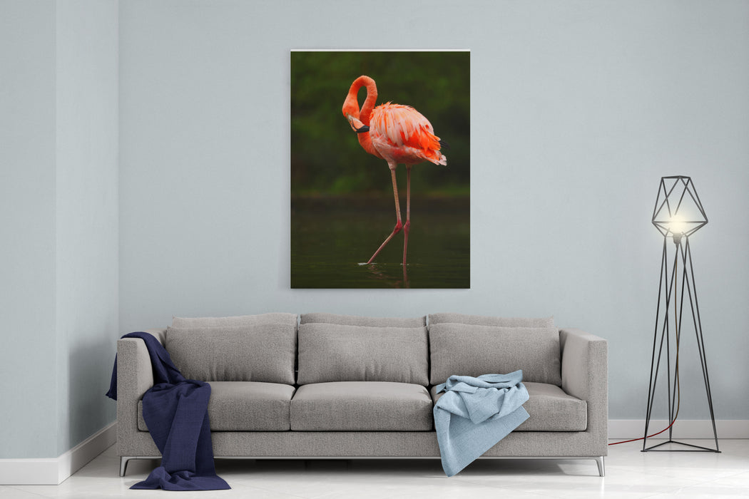 Beautiful Pink Big Bird Caribbean Flamingo, Phoenicopterus Ruber, Cleaning Plumage In Dark Green Water, With Evening Light, Reed In The Background Animal In The Nature Habitat, Cuba Canvas Wall Art Print
