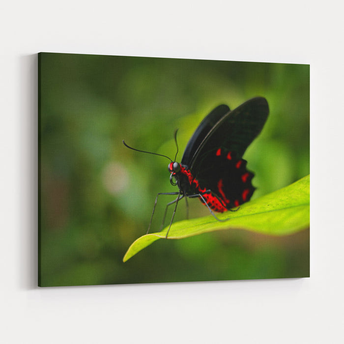 Beautiful Black And Red Poison Butterfly, Antrophaneura Semperi, In The Nature Green Forest Habitat, Wildlife From Indonesia Insect In Tropical Jungle Canvas Wall Art Print