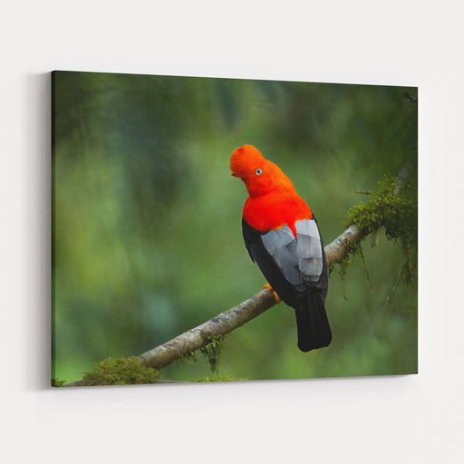 Andean Cockoftherock In The Beautiful Nature Habitat, Peru, Wildlife Pictures, Symbol Of Peru Canvas Wall Art Print
