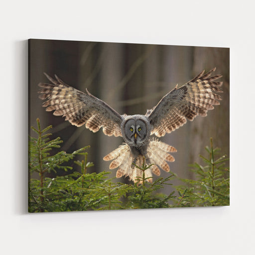 Action Scene From The Forest With Owl Flying Great Grey Owl, Strix Nebulosa, Above Green Spruce Tree With Dark Forest In Background Canvas Wall Art Print