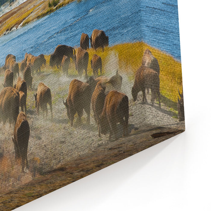 A Herd Of Bison Moves Quickly Along The Firehole River In Yellowstone National Park Near Midway Geyser Basin Canvas Wall Art Print