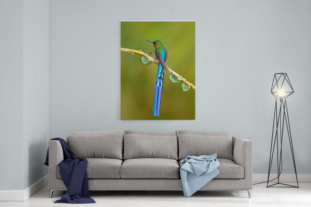 Beautiful Blue Glossy Hummingbird With Long Tail Longtailed Sylph In The Nature Habitat, Colombia Wildlife Scene From Tropical Nature Canvas Wall Art Print
