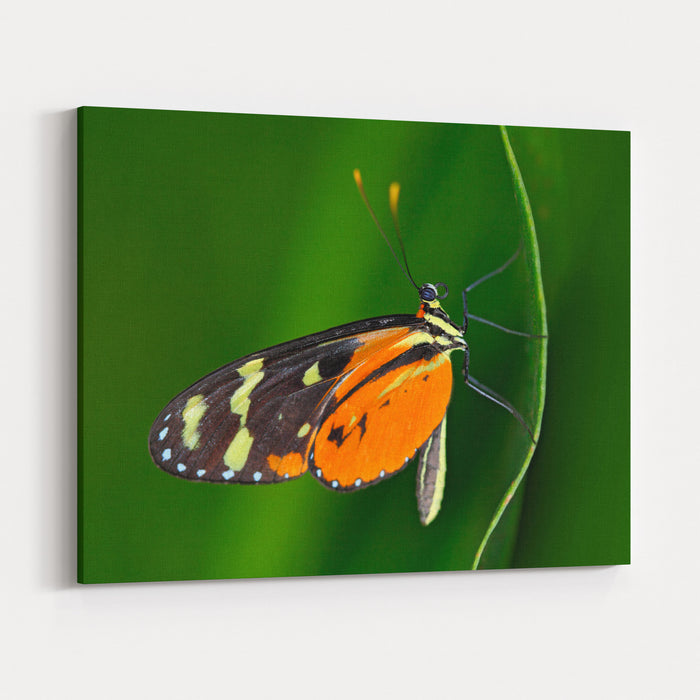 Butterfly Heliconius Hacale Zuleikas, In Nature Habitat Nice Insect From Costa Rica In The Green Forest Wildlife In The Forest Canvas Wall Art Print