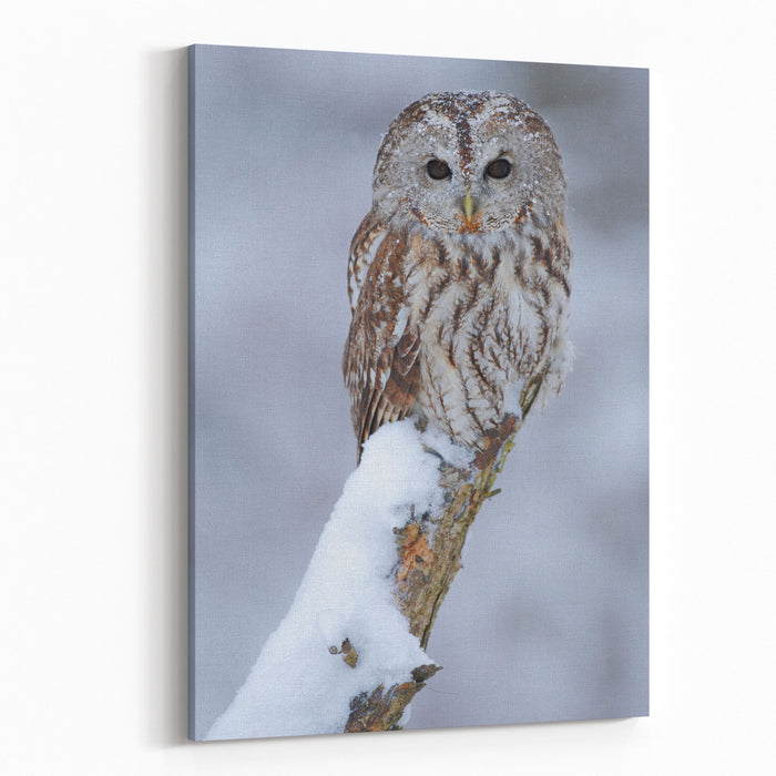 Tawny Owl Covered With Snow Wildlife Scene From Nature Winter Scene With Beautiful Bird Snow In The Forest Canvas Wall Art Print