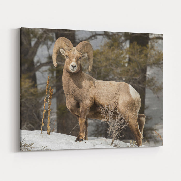 Bighorn Ram Feeding By Quake Lake, Montana Canvas Wall Art Print