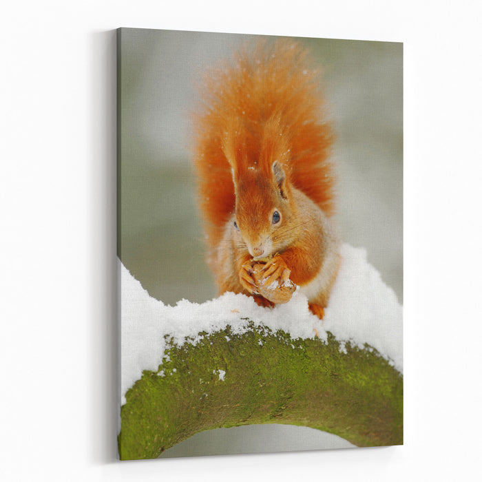 Cute Red Squirrel Eats A Nut In Winter Scene With Snow Wildlife Scene From Czech Nature Orange Fur Coat Animal In Snow Canvas Wall Art Print