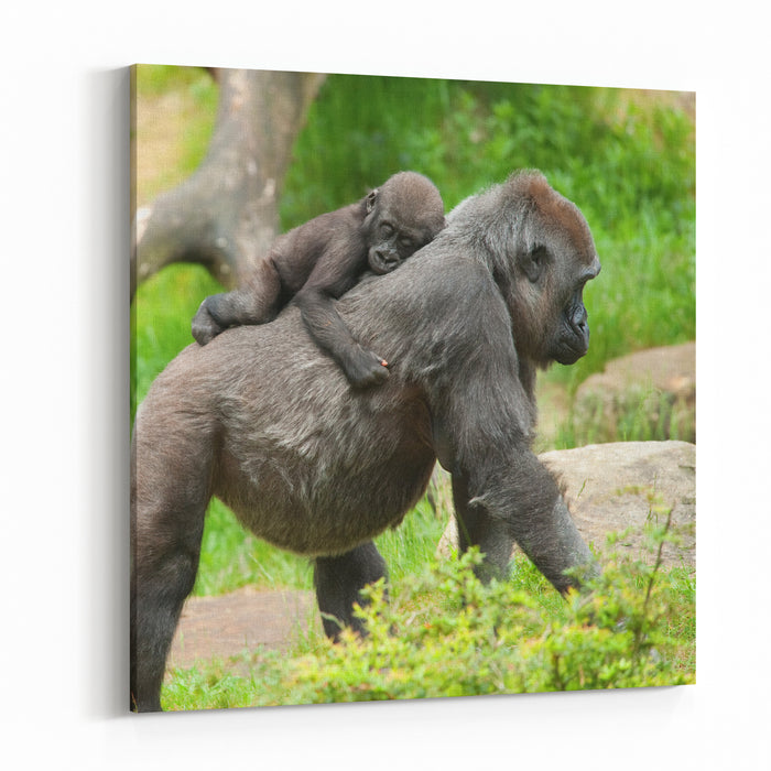 Closeup Of A Cute Baby Gorilla And Mother Canvas Wall Art Print