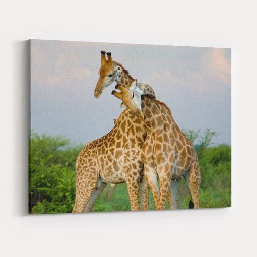 A Pair Of Giraffe Entwining Their Necks Canvas Wall Art Print