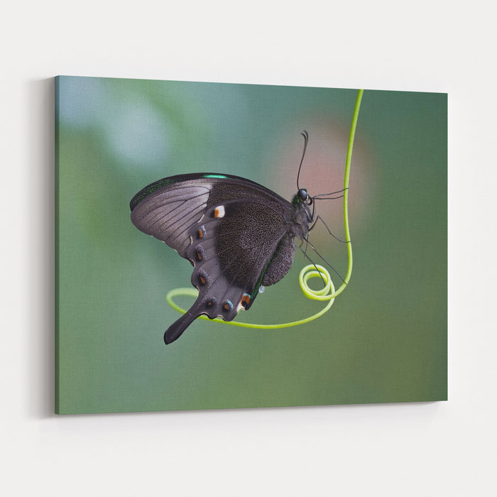 A Butterfly Is A Mainly Dayflying Insect Of The Order Lepidoptera, The Butterflies And Moths Canvas Wall Art Print