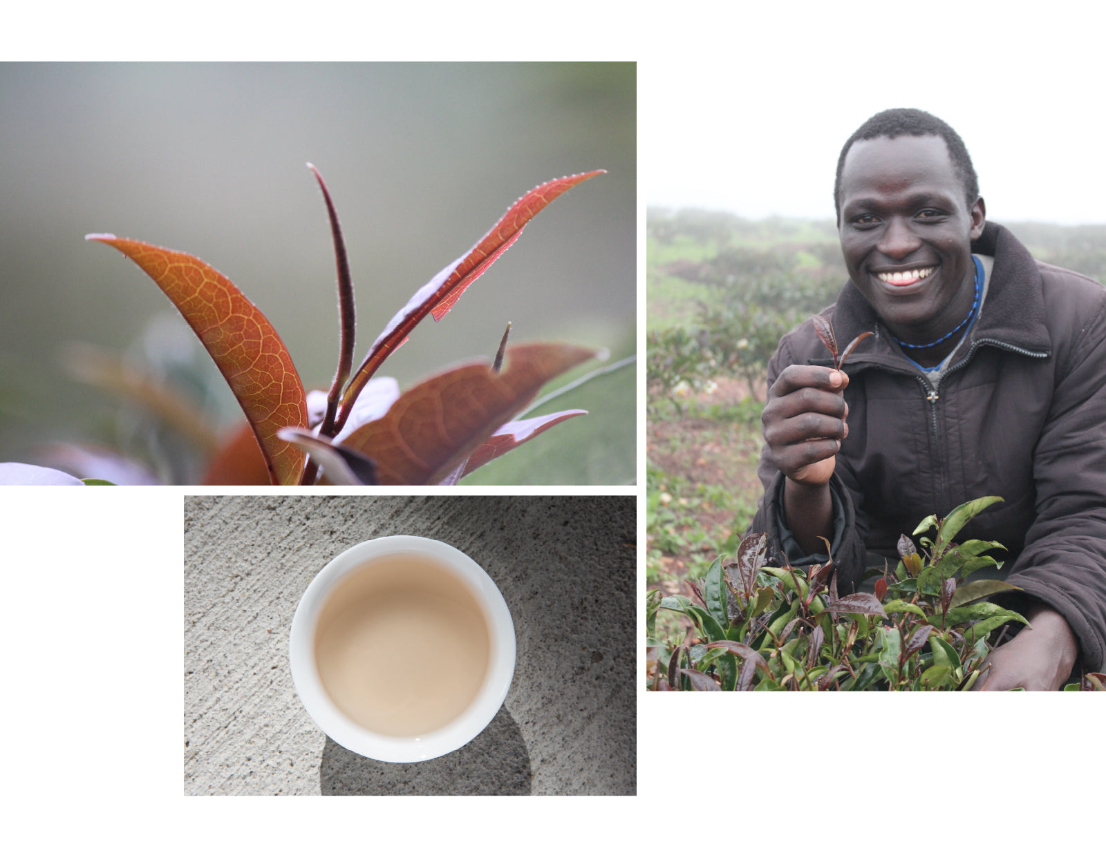 Kenya Purple Tea Collage