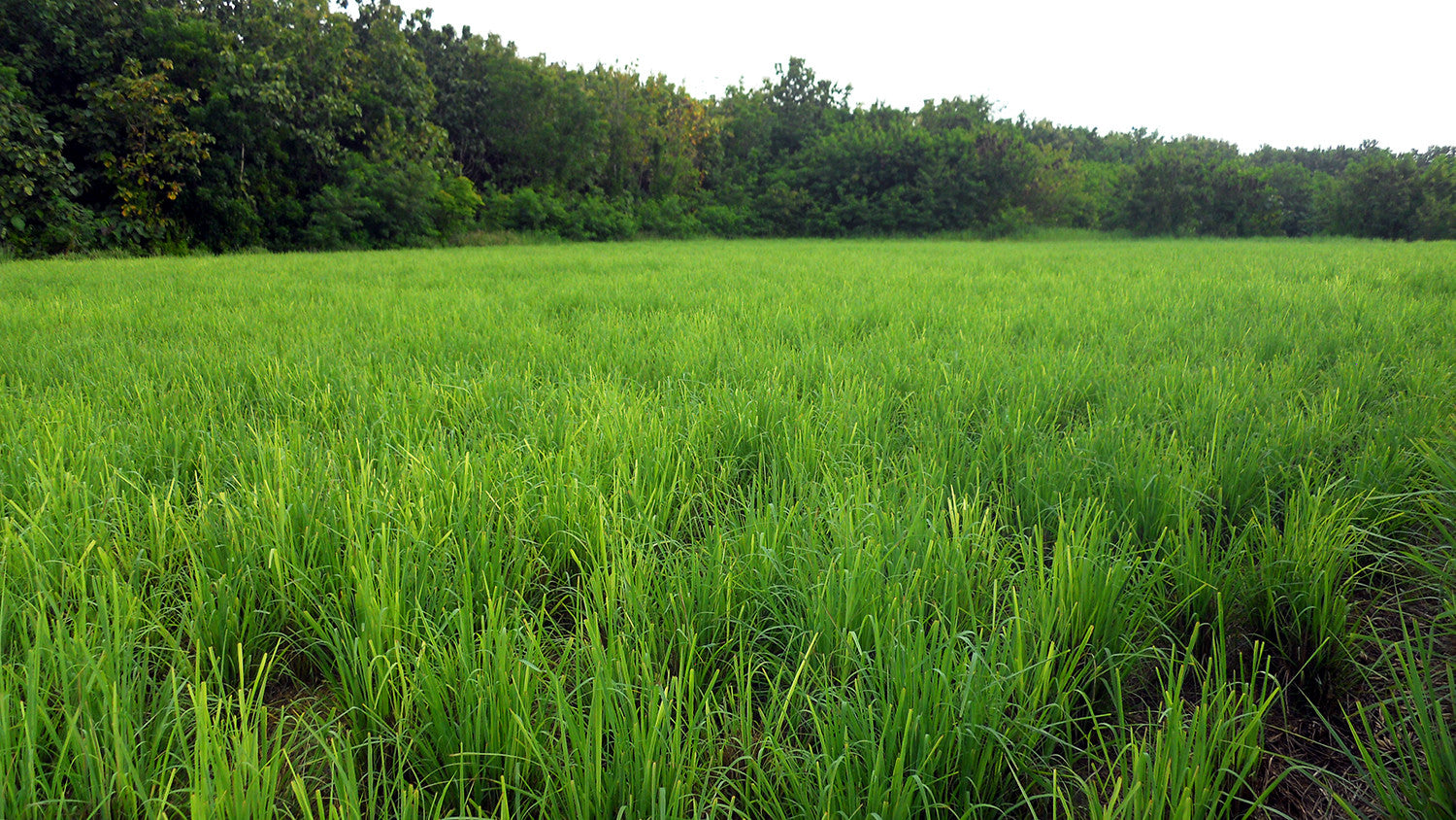 Lemongrass Field