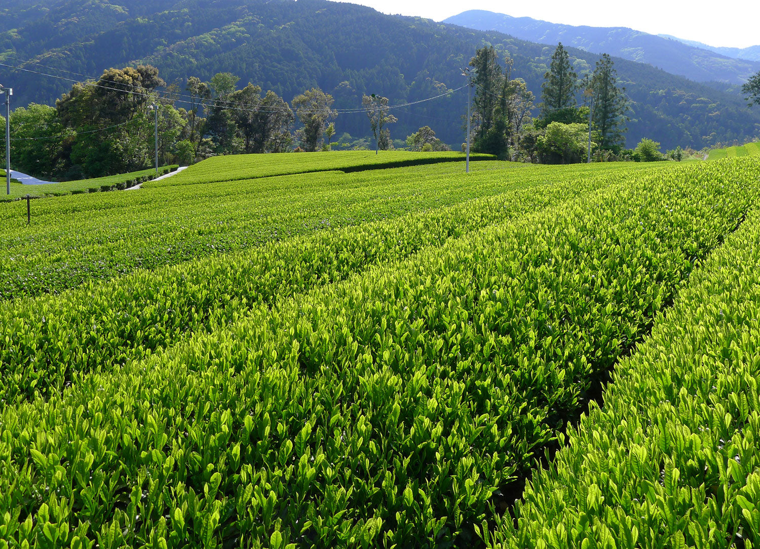 Shincha Fields