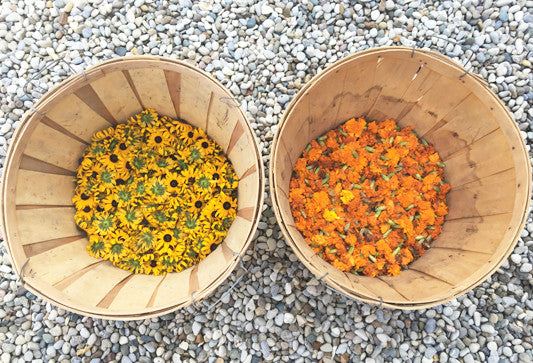 Harvested black-eyed susan flowers and marigold flowers for natural dyes