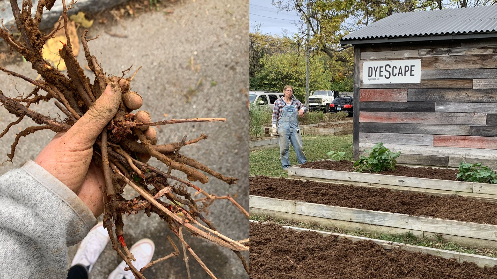 madder root harvested in Louisville, KY dyeScape garden
