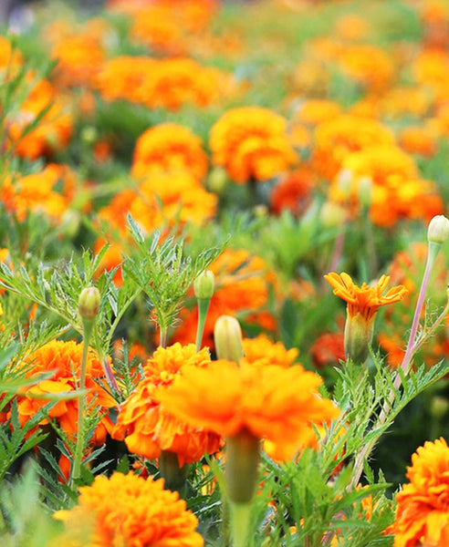 Dyescape Marigold Plant| Anchal Project